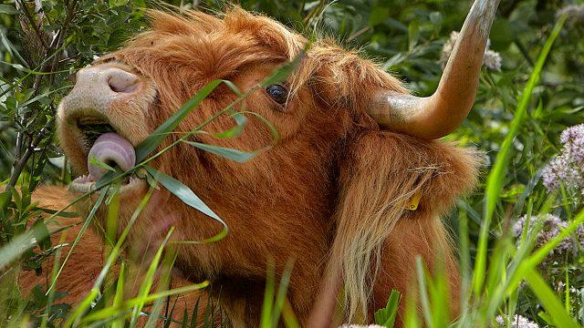 koeienpad met de boswachter