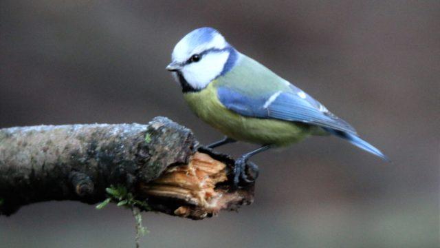 vogelrubriek pimpelmees