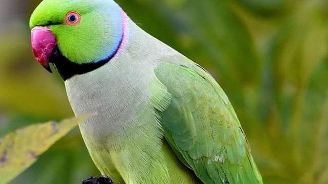 vogels in de natuur: halsbandparkiet